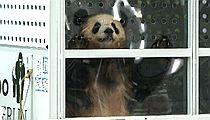 中国大熊猫抵达柏林