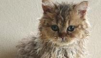 友晒稀有卷毛品种猫