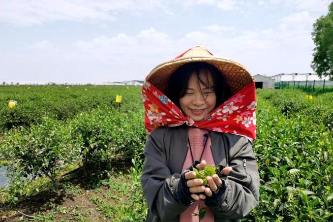"""苏州乡间茶香飘 阿里山姑娘看好""""农林22条"""""""