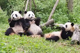 大熊猫保育教育.jpg