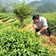 台湾青年登陆闽西客家山乡种茶遇真爱