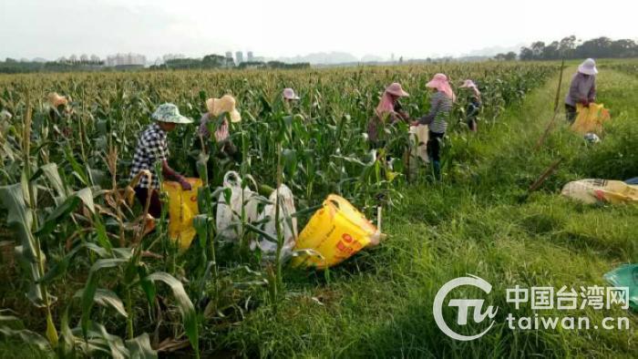 农户正在玉米地里忙碌.jpg