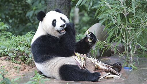 """两岸记者深山探访碧峰峡大熊猫基地 """"团团""""""""圆圆""""成焦点"""