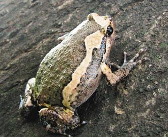 亚洲锦蛙_卫武营公园内发现外来种的有毒青蛙\