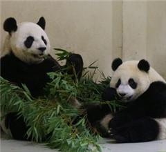 """熊猫""""圆仔""""吃竹叶往脸上打 相当有趣(图)"""