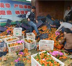 路滑致货车侧翻货主折价卖万斤砂糖橘(组图)