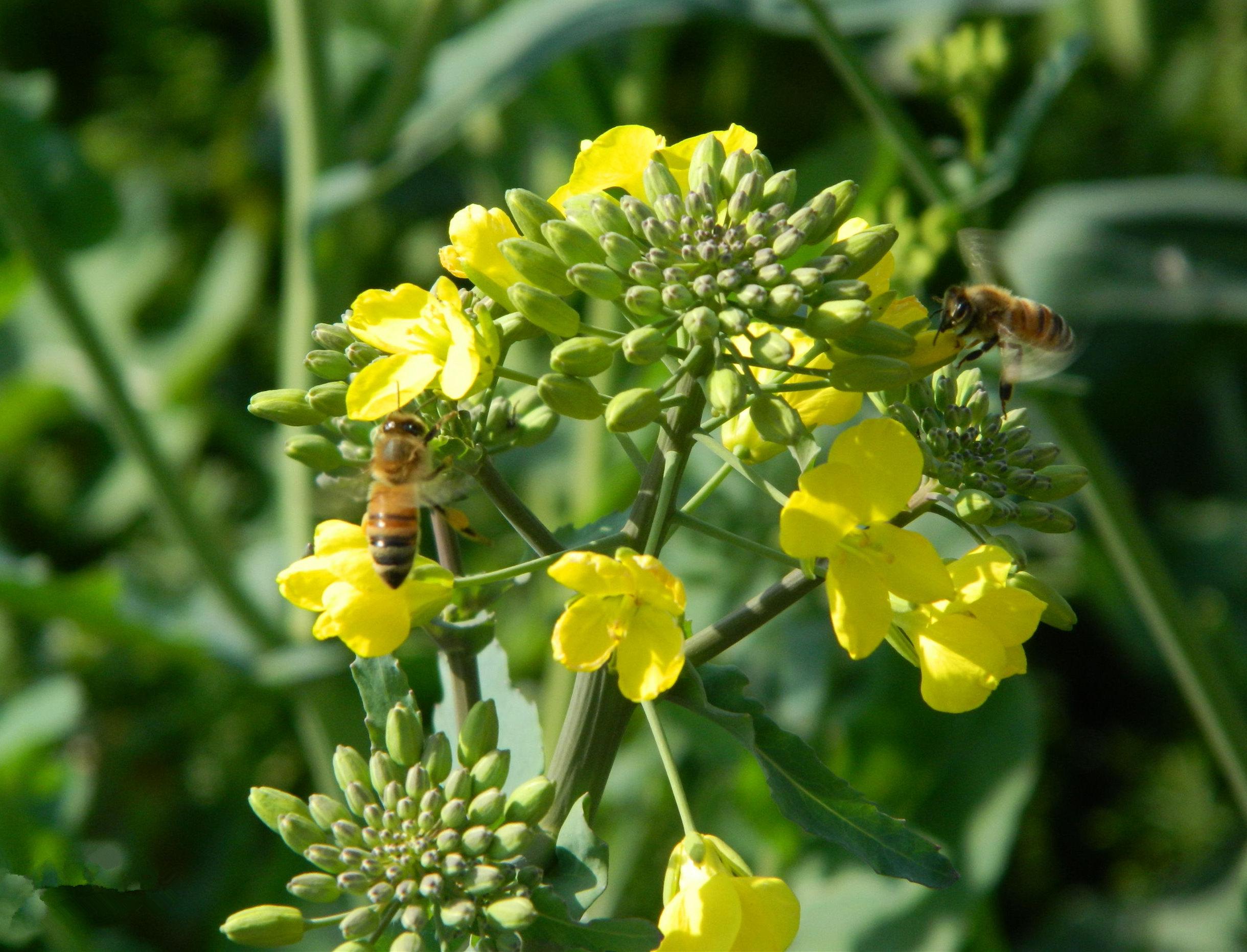 两只小蜜蜂,飞在油菜花丛中.(网络图片)图片