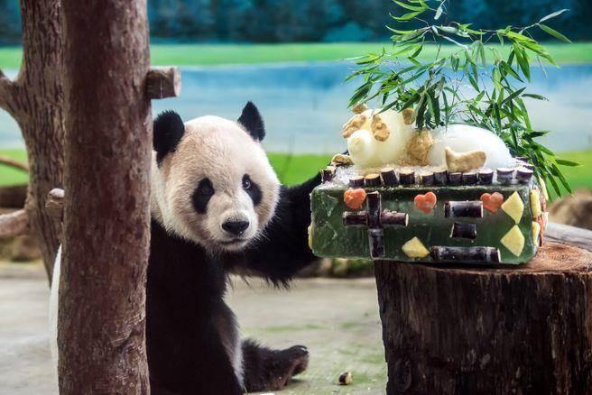 """台北市动物园为""""团团"""",""""圆圆""""庆13岁生日"""