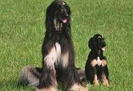 """研究披露:全球首只克隆犬被再科隆 有三只""""后代"""""""