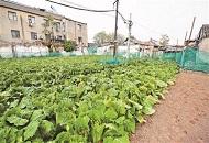 """北京前门现""""黄金菜地"""" 种白菜、萝卜有专人打理"""