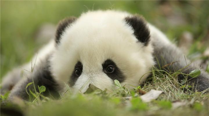 """天生""""缺墨""""?看大熊猫""""小灰灰""""萌照"""