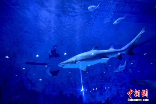 """北京海洋馆""""游来""""珍稀鲨鱼【组图】"""