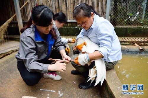 陈蓉(左)在动物园内给白鹤采血体检(9月17日摄).新华社记者李响摄