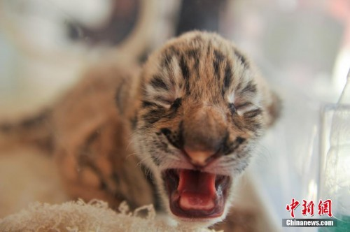 云南野生动物园诞生两只东北虎呆萌可爱