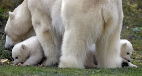 德国动物园北极熊产下双胞胎