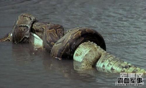 巨蟒吞鳄鱼撑破肚皮亡_科教_中国台湾网