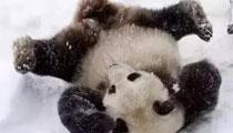 """四川大熊猫见到大雪激动成""""狗"""" 满地翻滚还刨洞"""