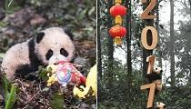 大熊猫宝宝集体亮相迎新年