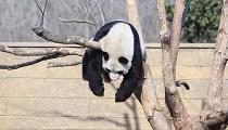 世界睡眠日动物睡姿大比拼 猴子最温情熊猫高难度