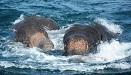 两头年幼大象海水中挣扎命悬一线 获人类营救