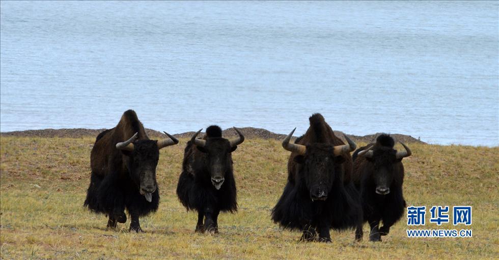 新华社照片,双湖(西藏),2014年7月9日 西藏羌塘草原:野生动物的天堂羌塘草原上奔跑的国家一级保护动物藏野驴(6月27日摄)。青藏高原腹地的羌塘大草原是野生动物的天堂。尽管这里是人类的禁区,但其独特的环境却是野生动物栖息繁衍的绝佳场所。近年来,随着保护力度的加大,羌塘保护区内很多珍稀野生动物数量都实现恢复性增长。目前仅那曲就有1万多头野牦牛、10万多只藏羚羊、8万多头藏野驴。多次到羌塘考察的美国著名动物学家乔治夏勒博士说:中国西藏羌塘自然保护区是当今世界上海拔最高、保存最完整、未经人类破坏